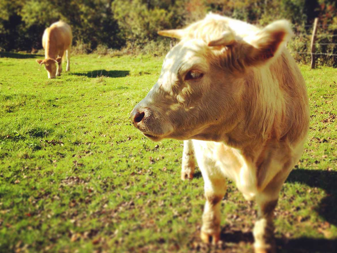 misc-vaches