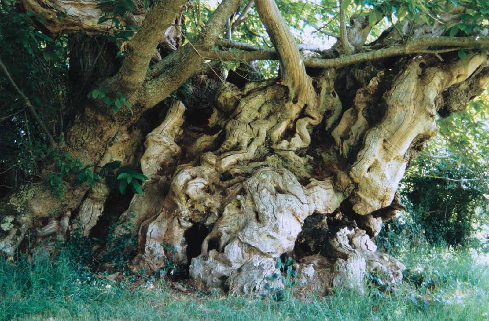 © Les plus vieux arbres de France